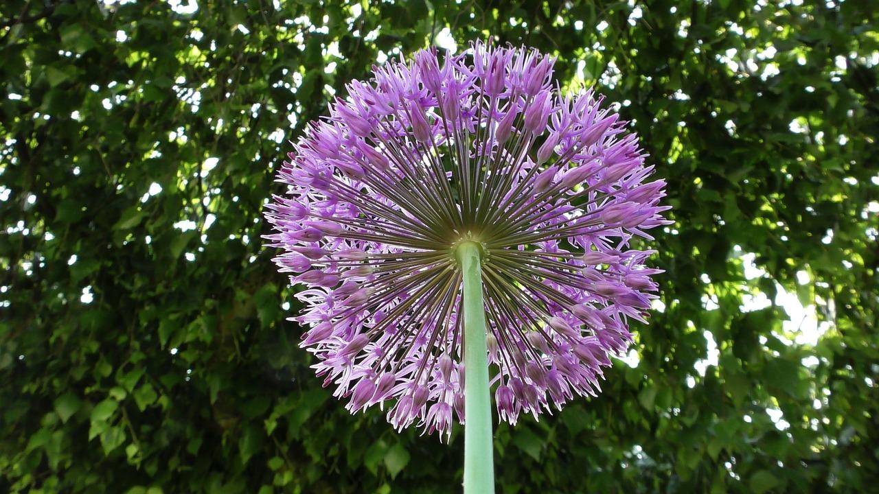 Zwiebelblumen für mehr Farbe im Sommer