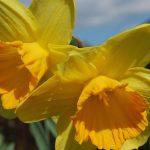 Narzissen - ideal für Garten, Topf und Glas