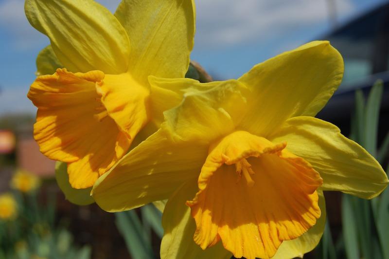 Narzissen für Garten und Zuhause