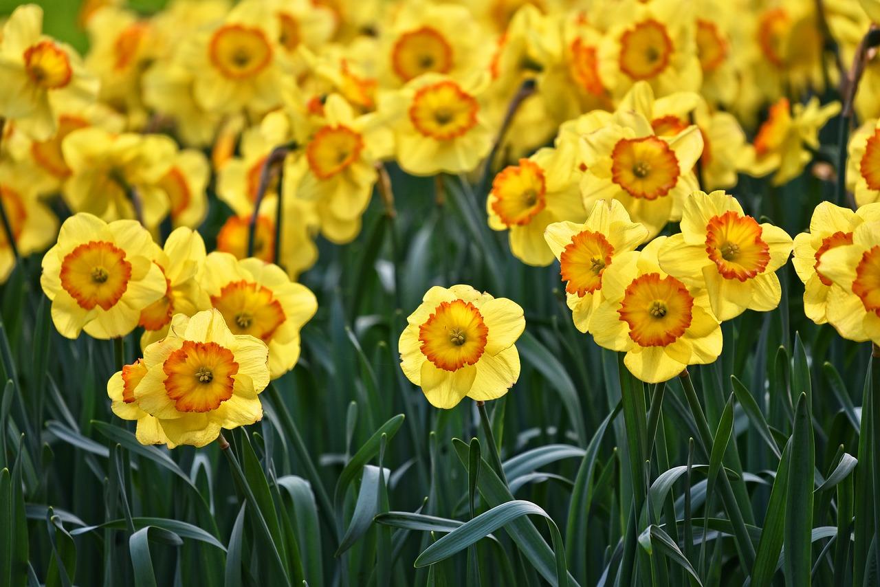 Narzissen - Blumen mit diverser Bedeutung