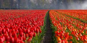 Tulpen - Sorten, Einpflanzen und Pflege.
