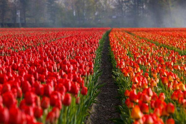 Tulpen – Sorten, Einpflanzen und Pflege.