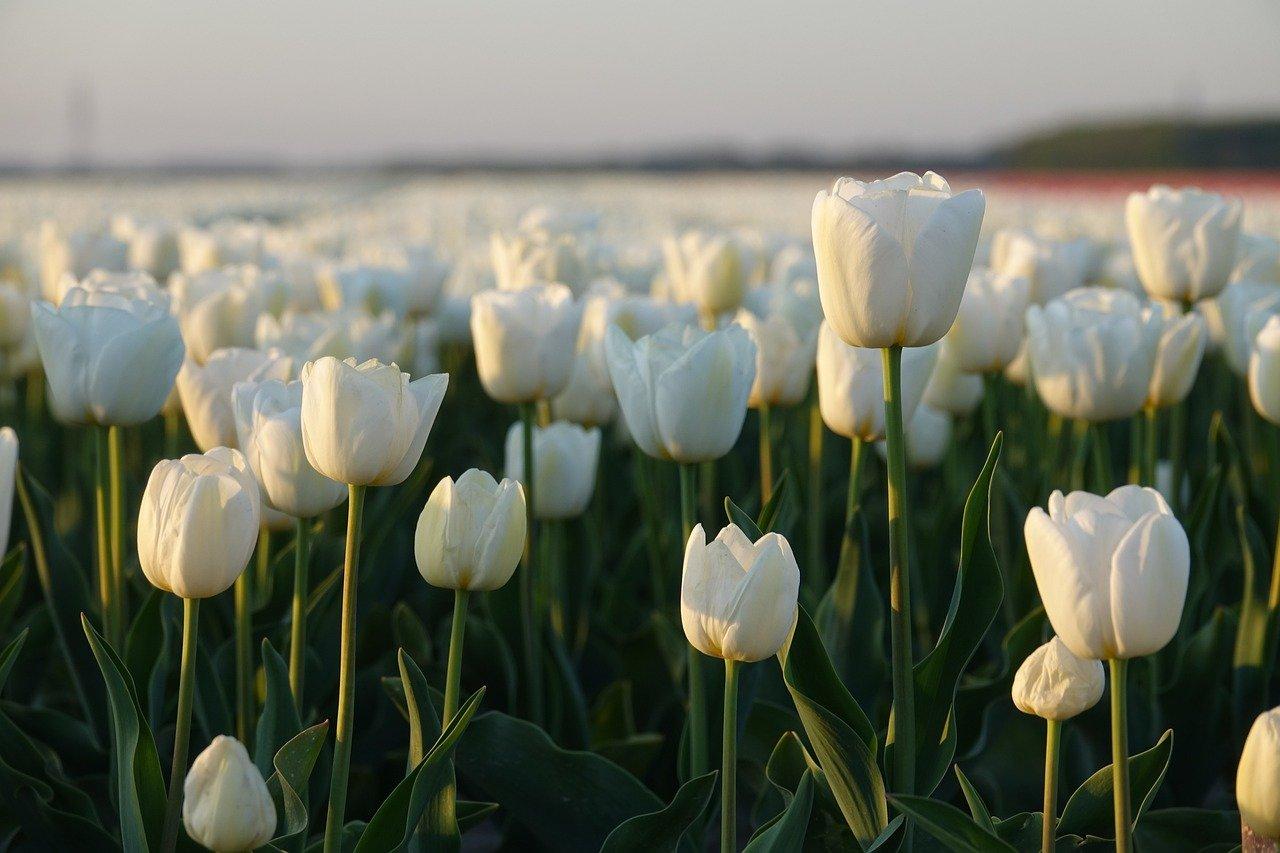 Tulpen – beliebte Blumen mit langer Geschichte