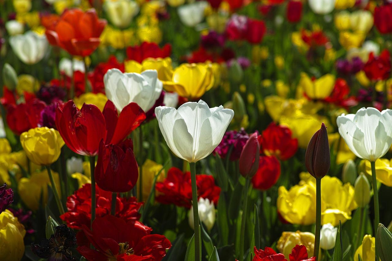 Tulpen zum Einpflanzen online kaufen